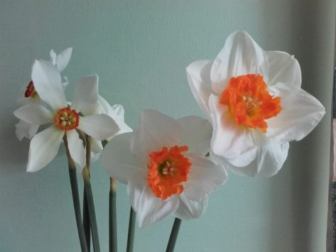 Mothering Sunday daffodils